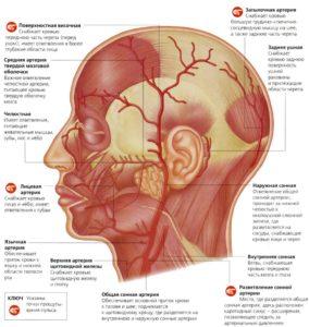 Сосуды головы, артерии