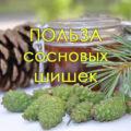 Шишки сосны: полезные свойства